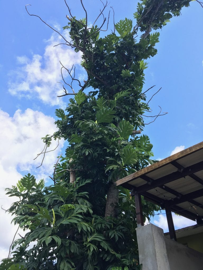 Large breadfruit tree above the house