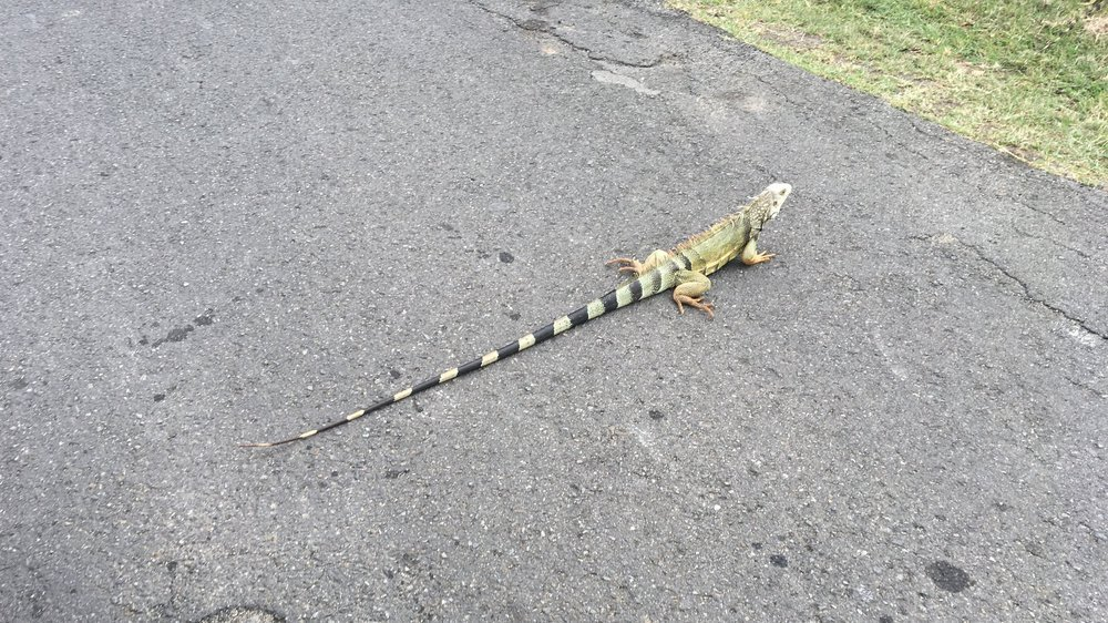 Iguana crossing the street