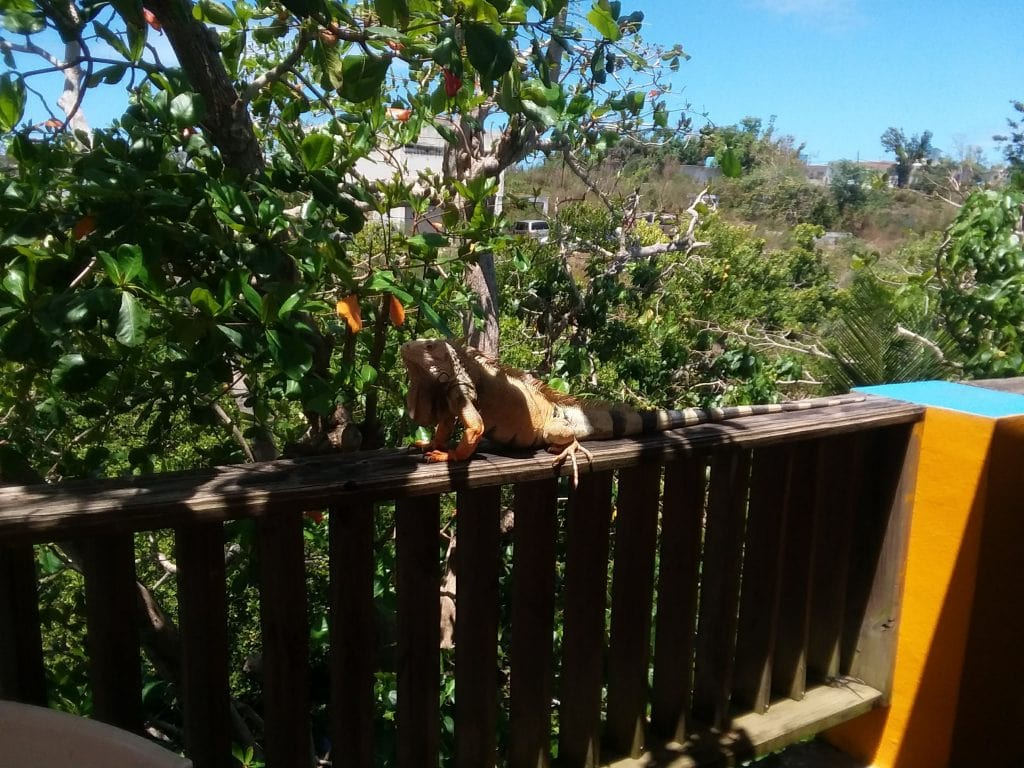 Iguana on deck railing