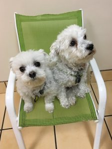 Two little white dogs in a chair in the vet's office